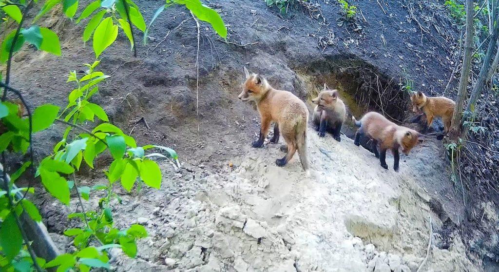 Маленькие лисята возились у норы и ждали маму лисицу