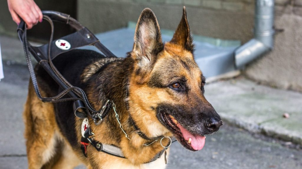 Собака-поводырь спасла жизнь своему хозяину