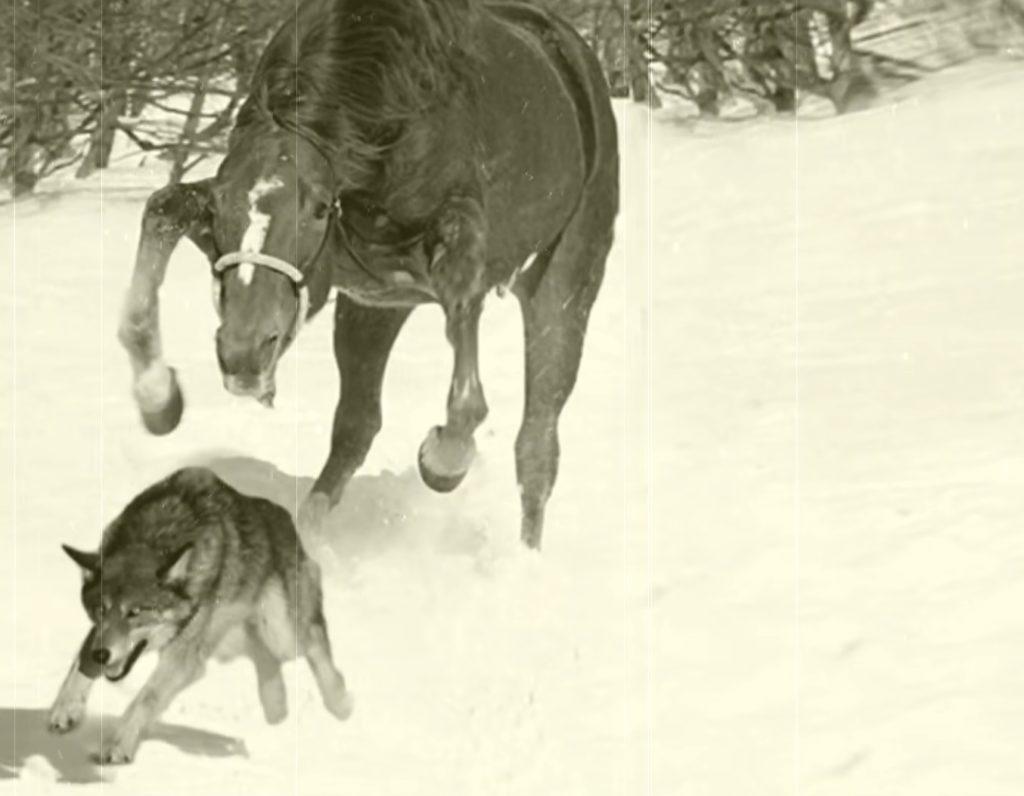 Лошадь спасла жизнь девушке, которую окружили волки