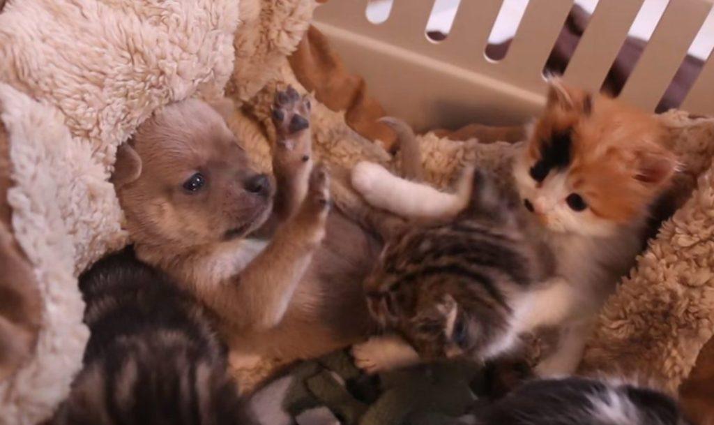 Собака спасла котят, приняв их за родных