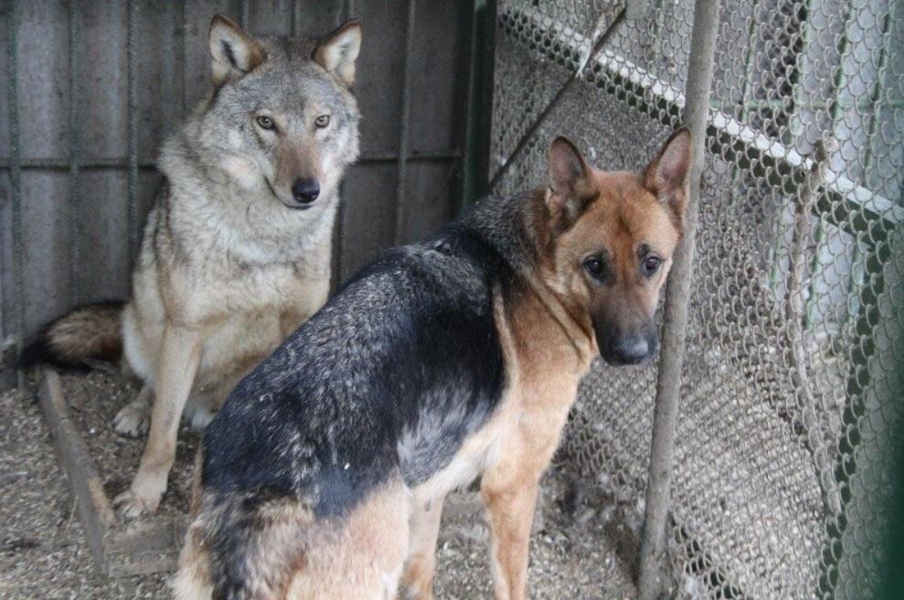 Волчонок из зоопарка нашел себе маму собаку ❤