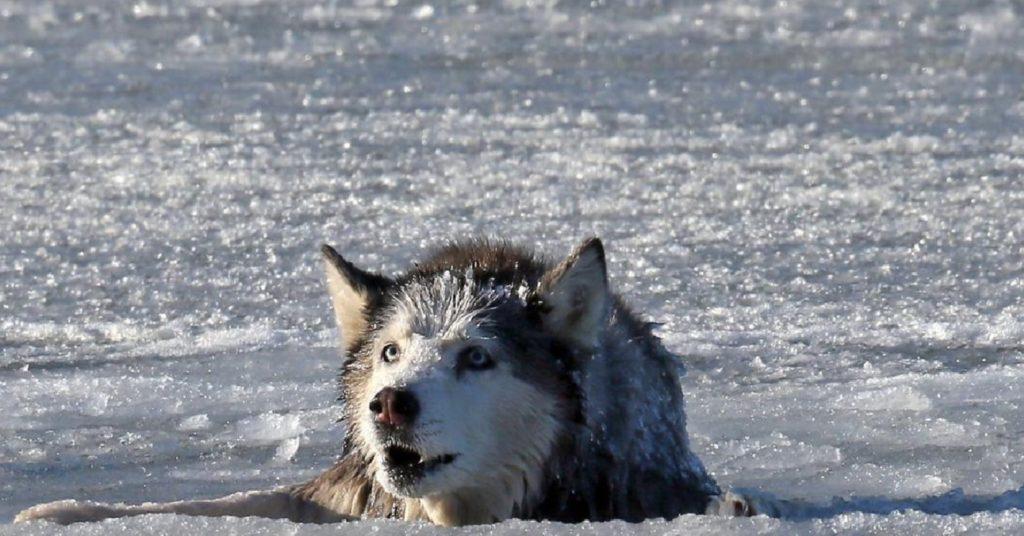 Парень спас волка - а волк его отблагодарил