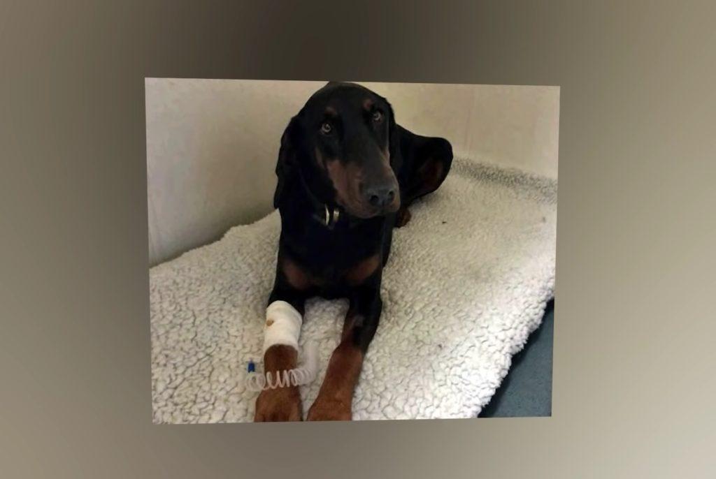 Собака породы доберман спасла трехлетнюю девочку