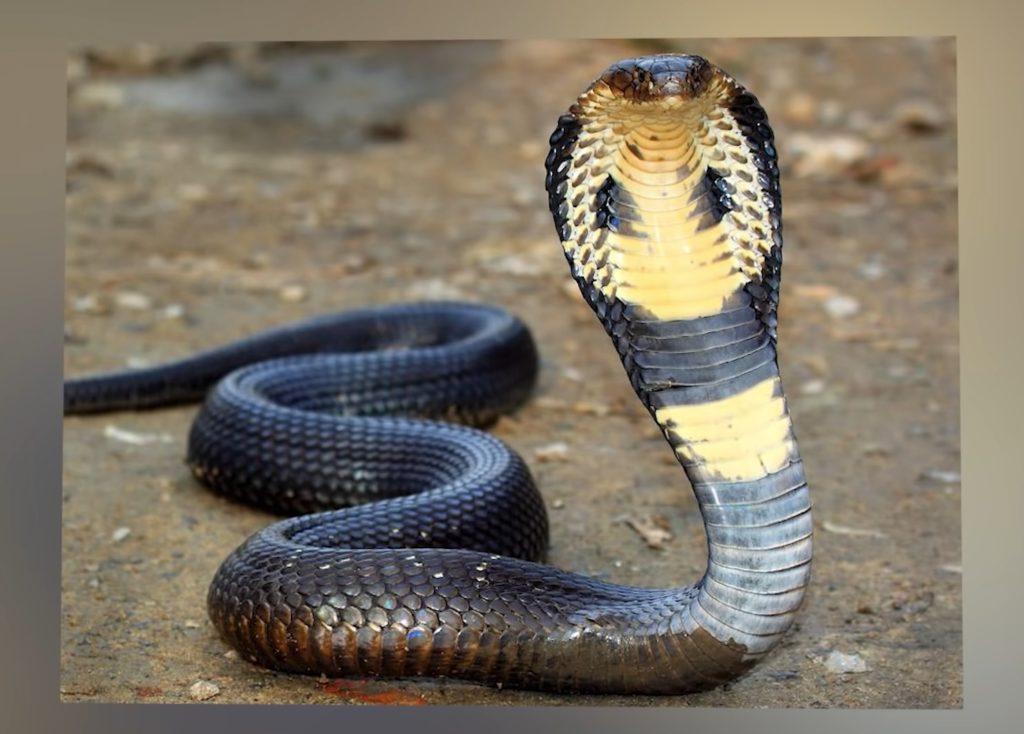 Королевская кобра обратилась за помощью к людям 😱