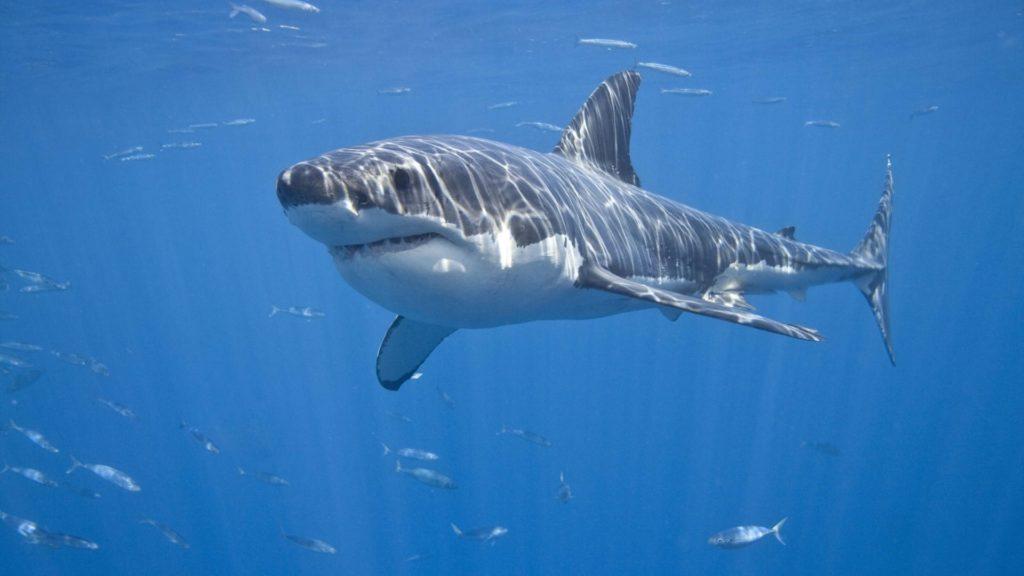 Дельфины  спасают пловца от акулы людоеда