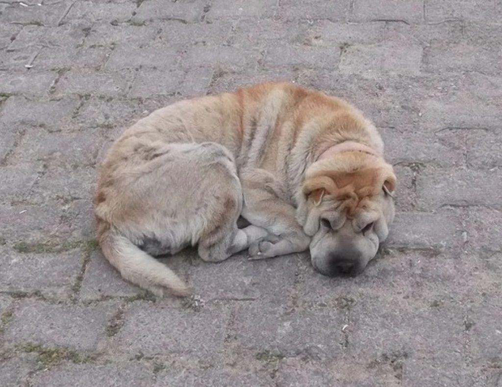Шарпей высунул язык и тяжело задышал - пёс занервничал не просто так