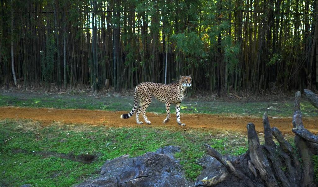 Хищник Гепард и собака оказались в одной клетке в зоопарке