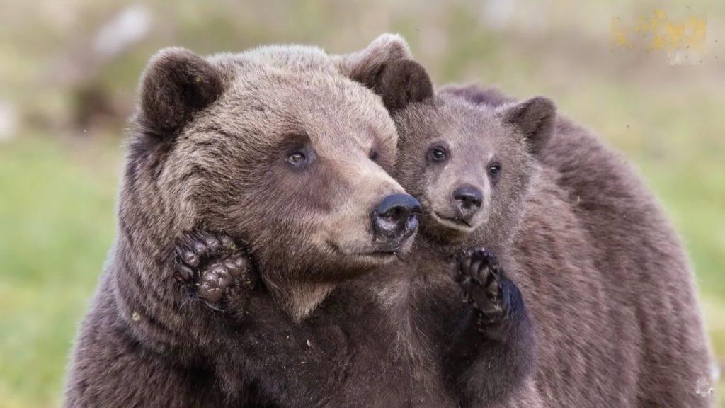 Медведица отблагодарила парня за спасение ее малыша