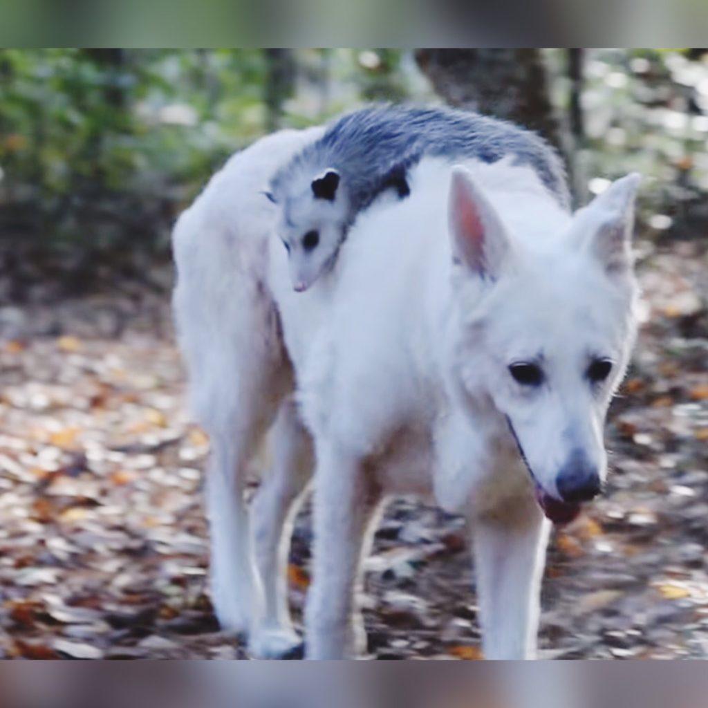 Малышка опоссум вылечила от депрессии свою приемную маму собаку