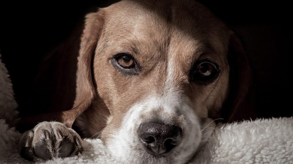 Пёс перенес предательство своего хозяина, теперь уже бывшего и приобрел новую семью