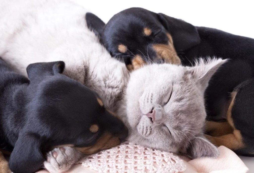 Кот лежал как барин среди милых щенят - он не стал противиться приходу малышей, хотя был в курсе, что они из выгребной ямы