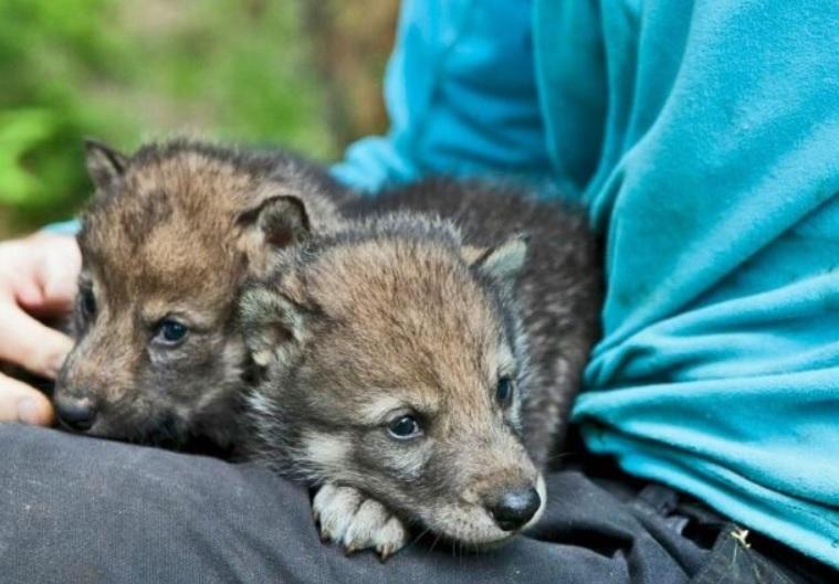 Мальчик нашел в лесу маленького волка и  спас его из капкана