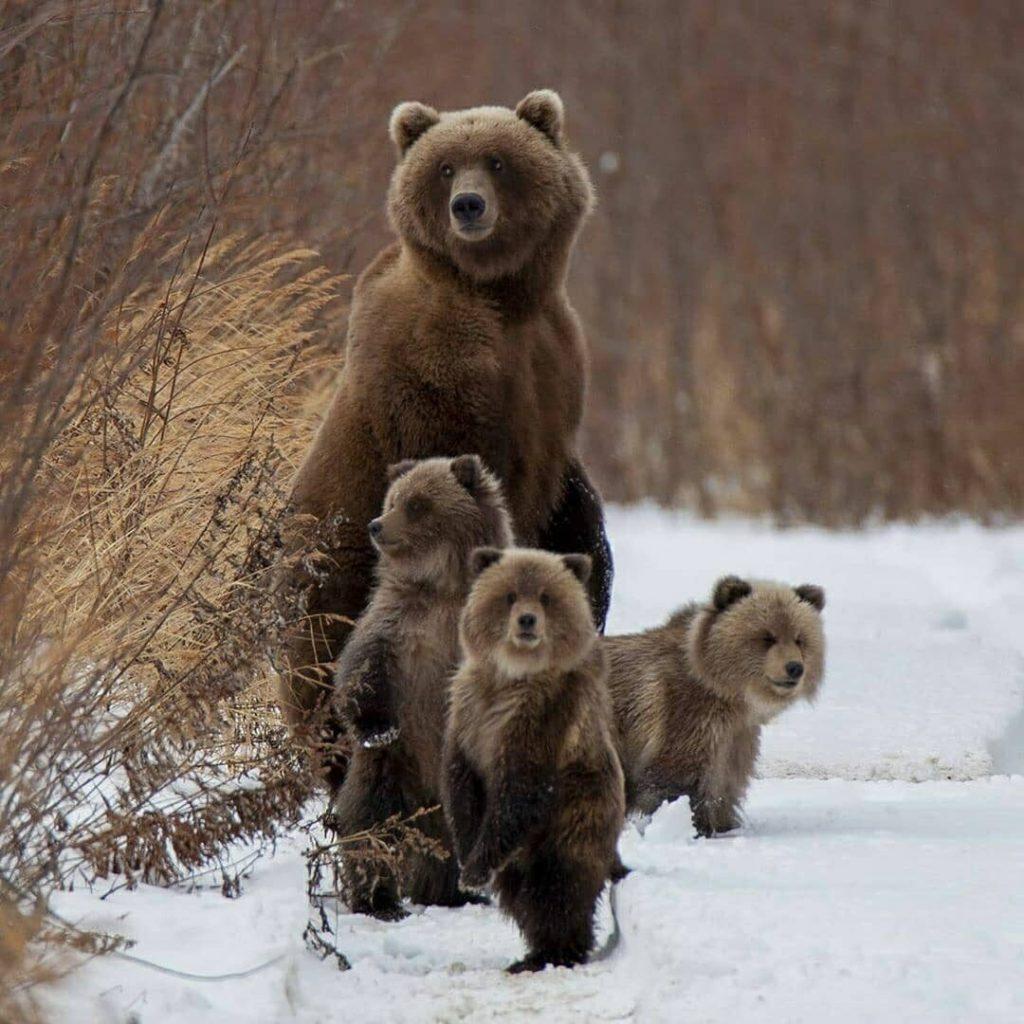 Медведица пришла за помощью к человеку