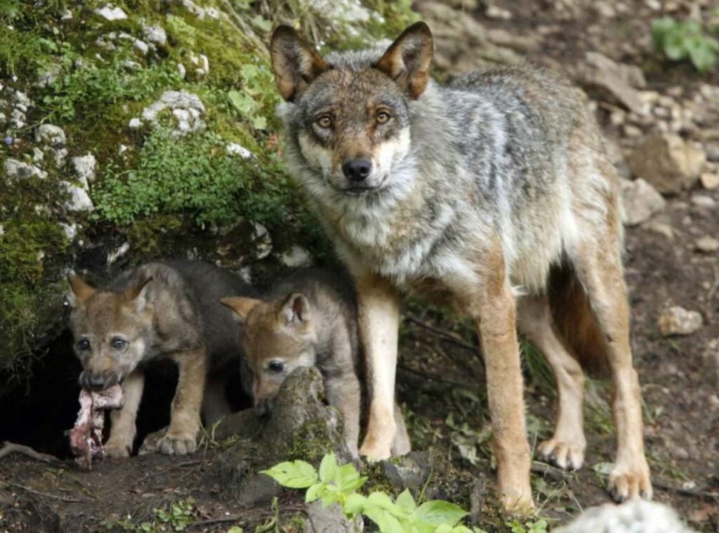 Волчица спасла от гибели маленького щенка