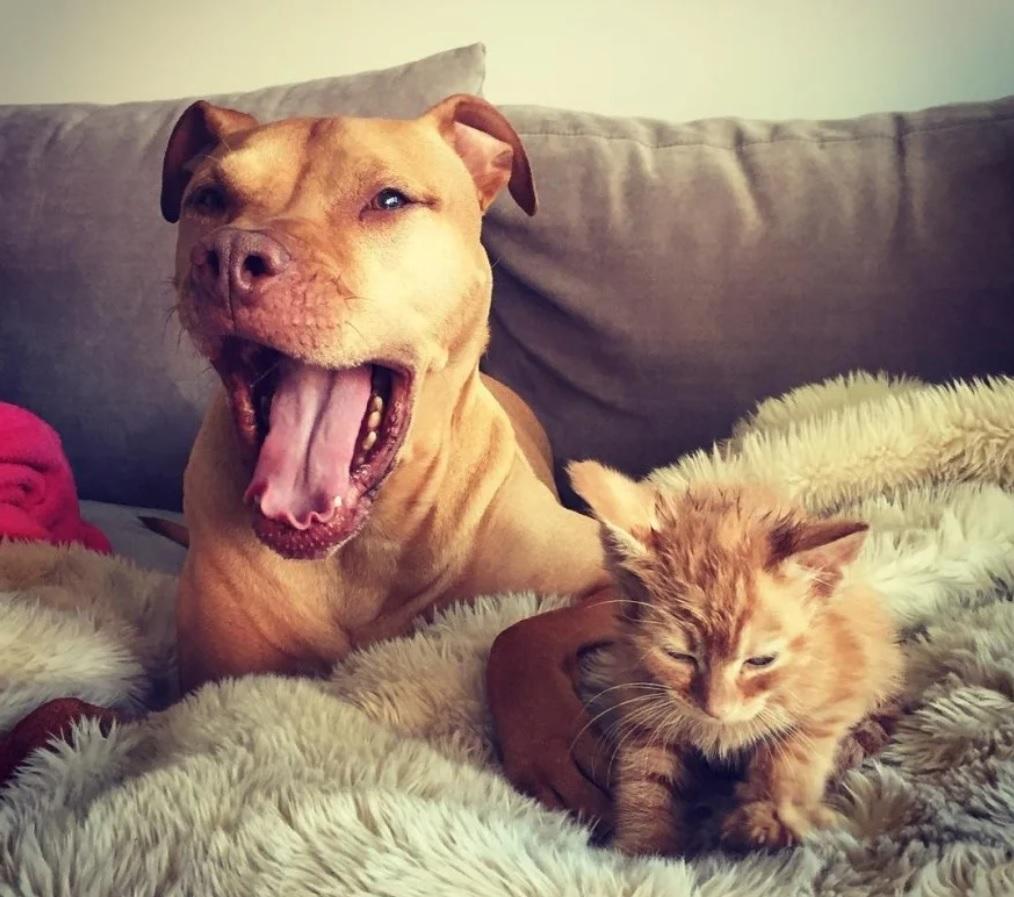 Котёнок Лёва прикипел всем сердцем к псу Спайси - ведь роднее собаки у малыша никого не было