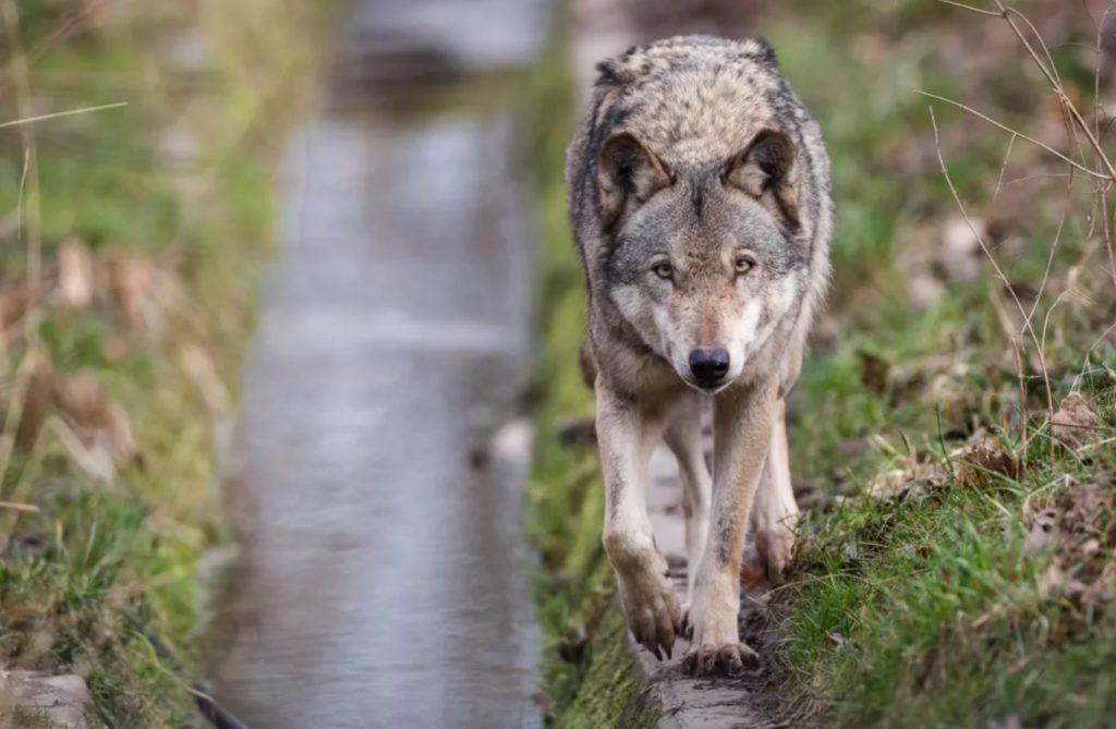 Волчонок барахтался в воде и не мог выбраться: Бабуля поспешила ему на помощь
