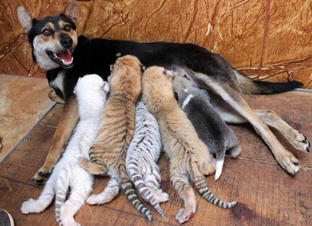 Собака стала приемной мамой для тигрят редкой породы