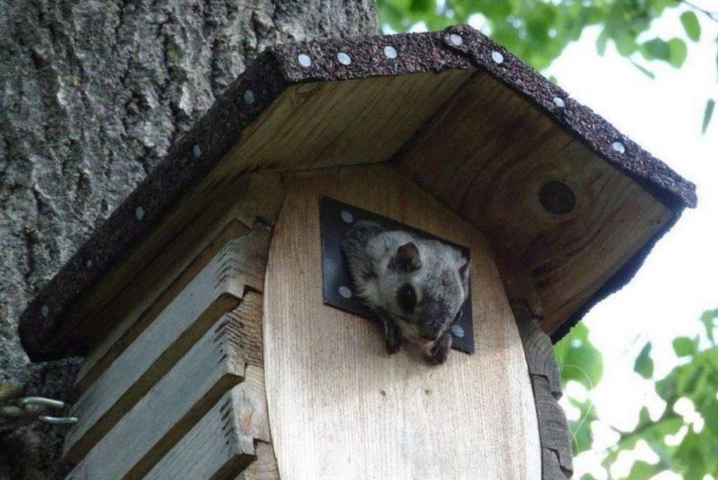 Белка летяга спасла свих малышей и переселилась в новый домик