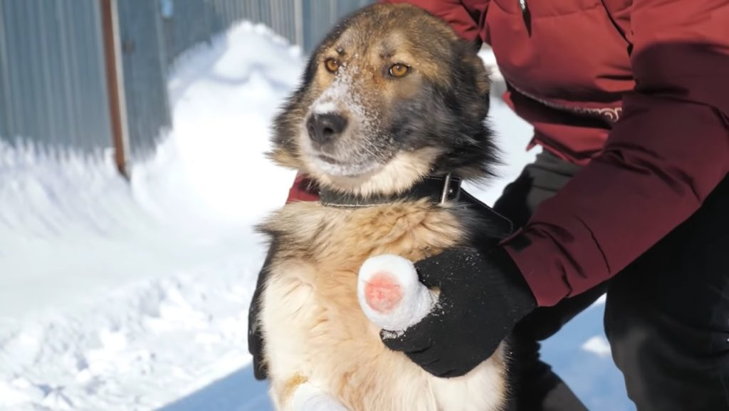 Пес, попав в капкан, лишился лапок, но добрые люди помогли ему выжить