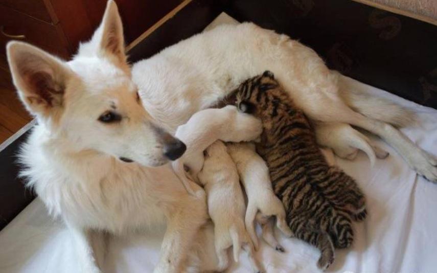 У мамы бельгийской овчарки приемными детьми стали тигрята