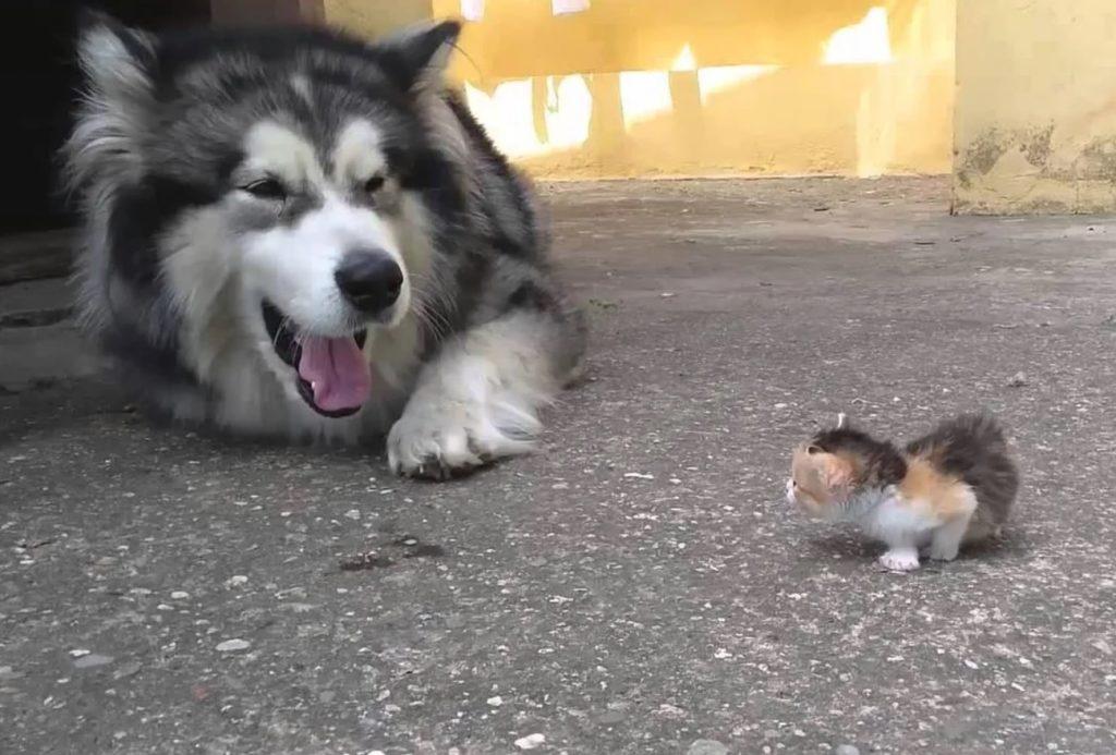 Котёнок Горошек едва научившись ходить, выбрался из-под опеки кошки: как повстречал собаку маламута с открытой пастью