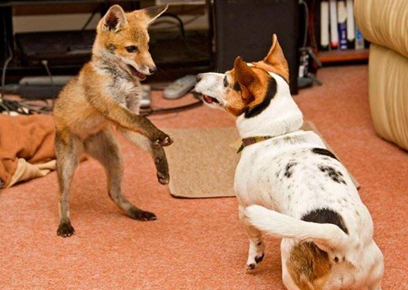 Слепой лисенок приобрел семью и начал считать себя собакой