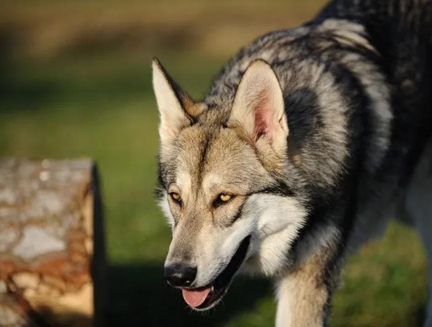 Волк оказался хорошим другом и пришел на помощь человеку