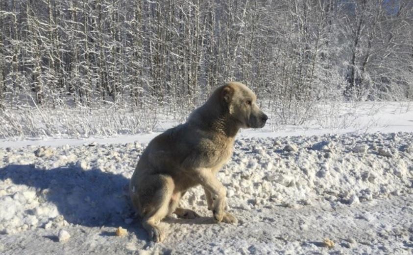 По трассе шла бездомная, никому не нужная собака и счастливый случай помог изменить ей жизнь