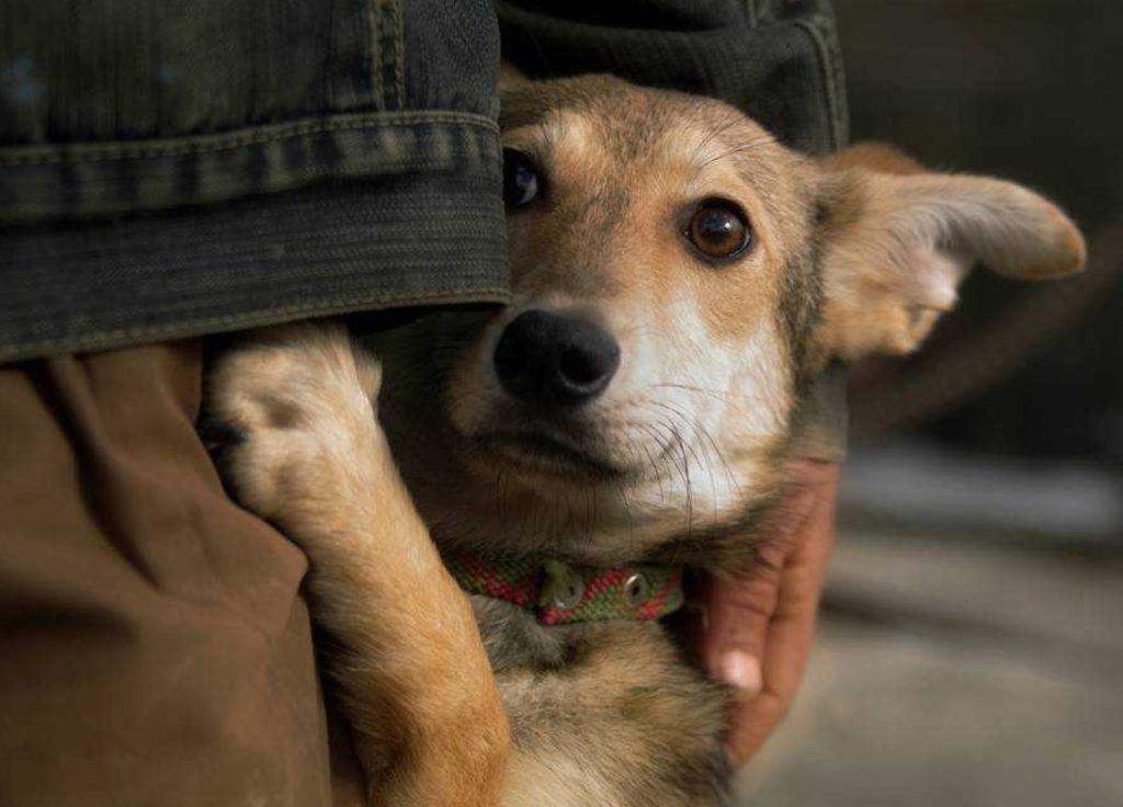 Бездомная Мотька скулила от радости - ручная собачка пригрелась на руках человека