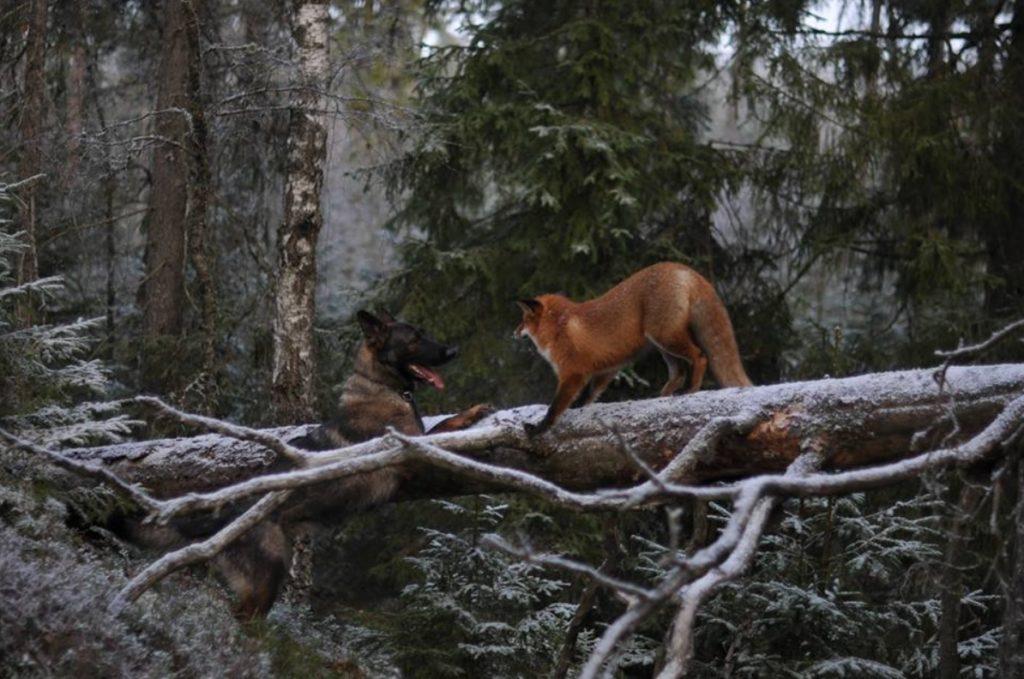 Собака и лиса теперь неразлучные друзья