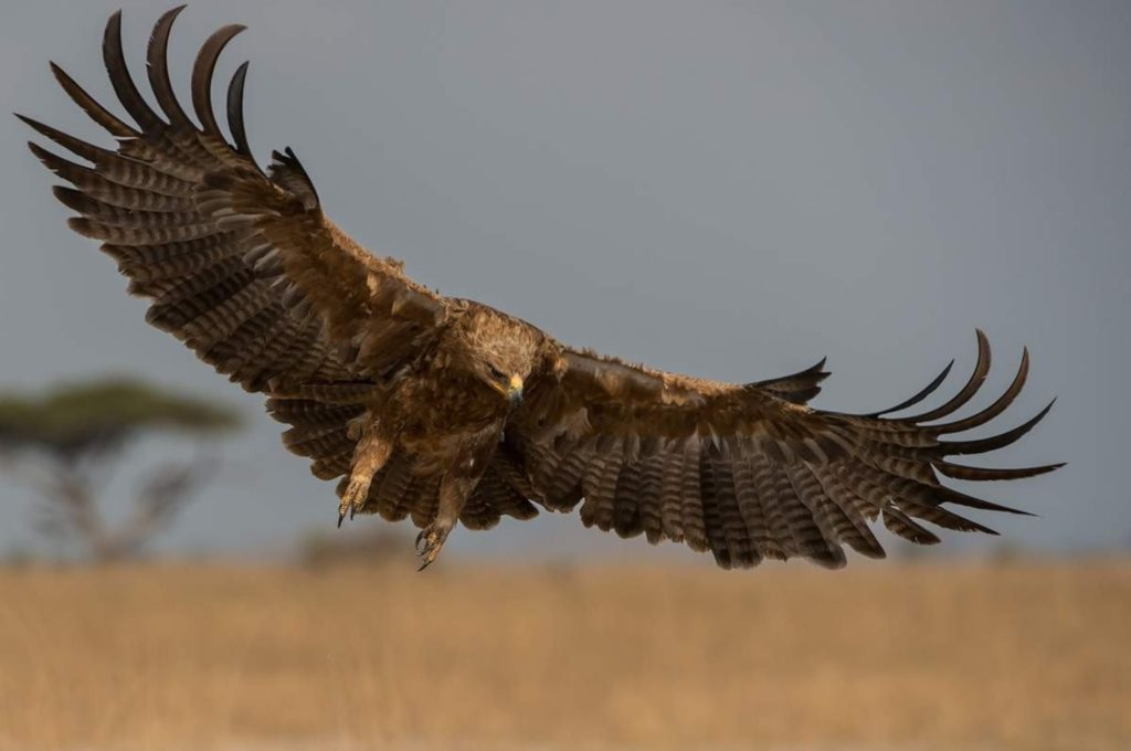 Степной орел пришел на помощь охотнику