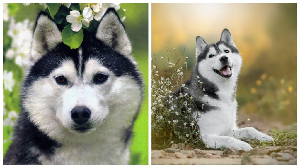 Красивая собака, породы хаски, пришла в приют для животных за помощью
