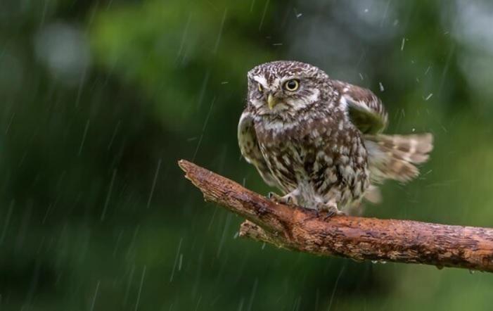 Иглоногая сова, попавшая под дождь, приобрела статус знаменитости