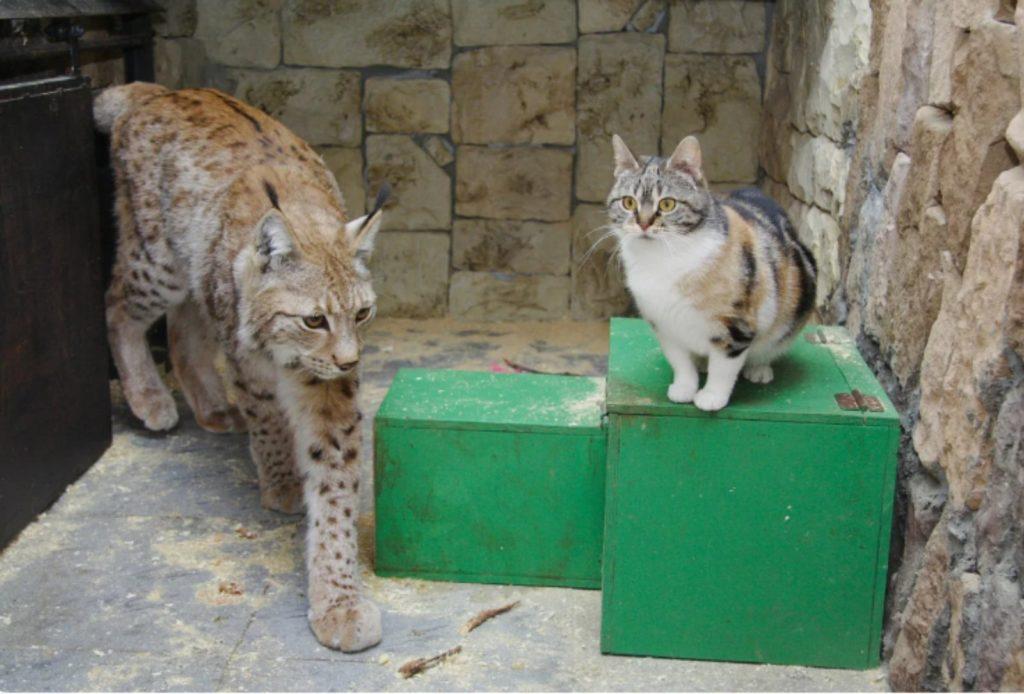 Неразлучные друзья: дикая рысь и кошка - не разлей вода!