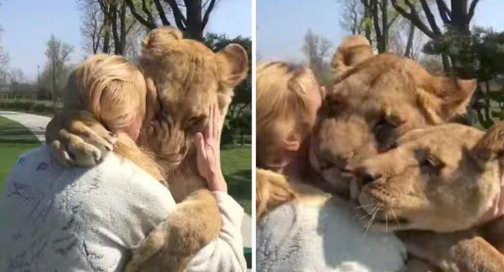 Женщина спасла новорожденных львят и они ее не забыли даже через семь лет разлуки