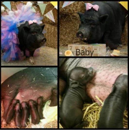 Нерадивые хозяева бросили беременную свинку погибать на заброшенной ферме: а отзывчивые люди сделали из неё востребованную фотомодель