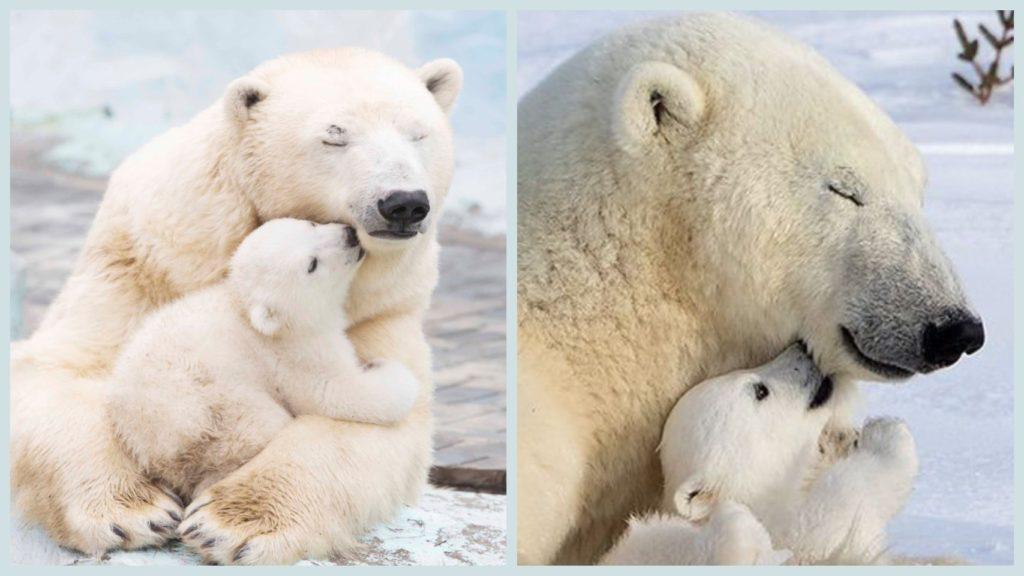 Благодаря работникам полярного круга  воссоединилась семья белых медведей