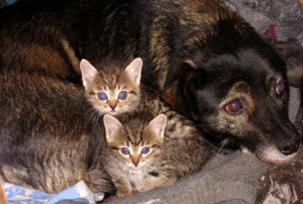 Собака так хотела стать матерью: что когда ей принесли двух котят - она от восторга стала их облизывать