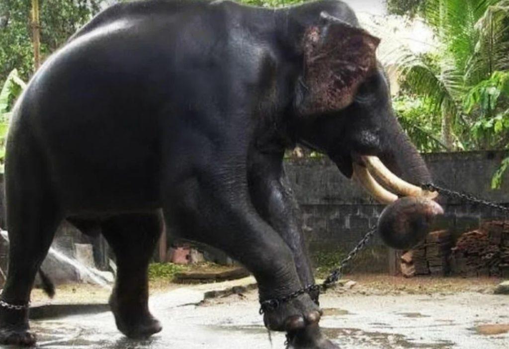 Радость освобождения: Как в Таиланде на волю выпустили слониху после 70 лет заточения, и она заплакала, как человек