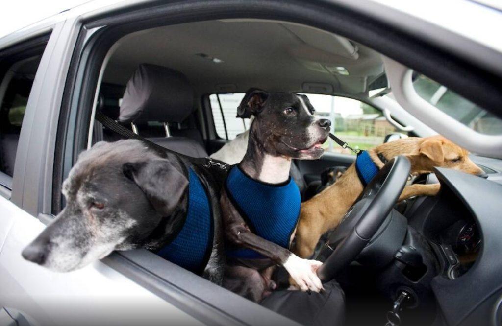 За рулем оказалась собака - но поездка была не долгой