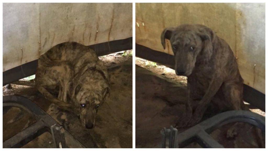 Женщина в своем сарае увидела истощенного уличного пса и решила ему помочь