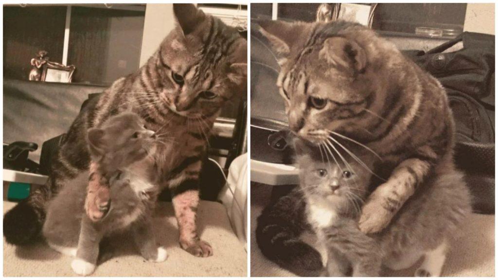 Девушка забрала с собой уличного малюсенького котенка - а её домашний питомец очень ему обрадовался и заобнимал малютку