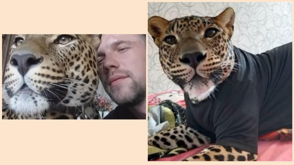 Больной детеныш леопарда остался жив благодаря заботе и вниманию парня