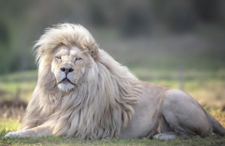 Белый лев Мойя - самый красивый лев на планете