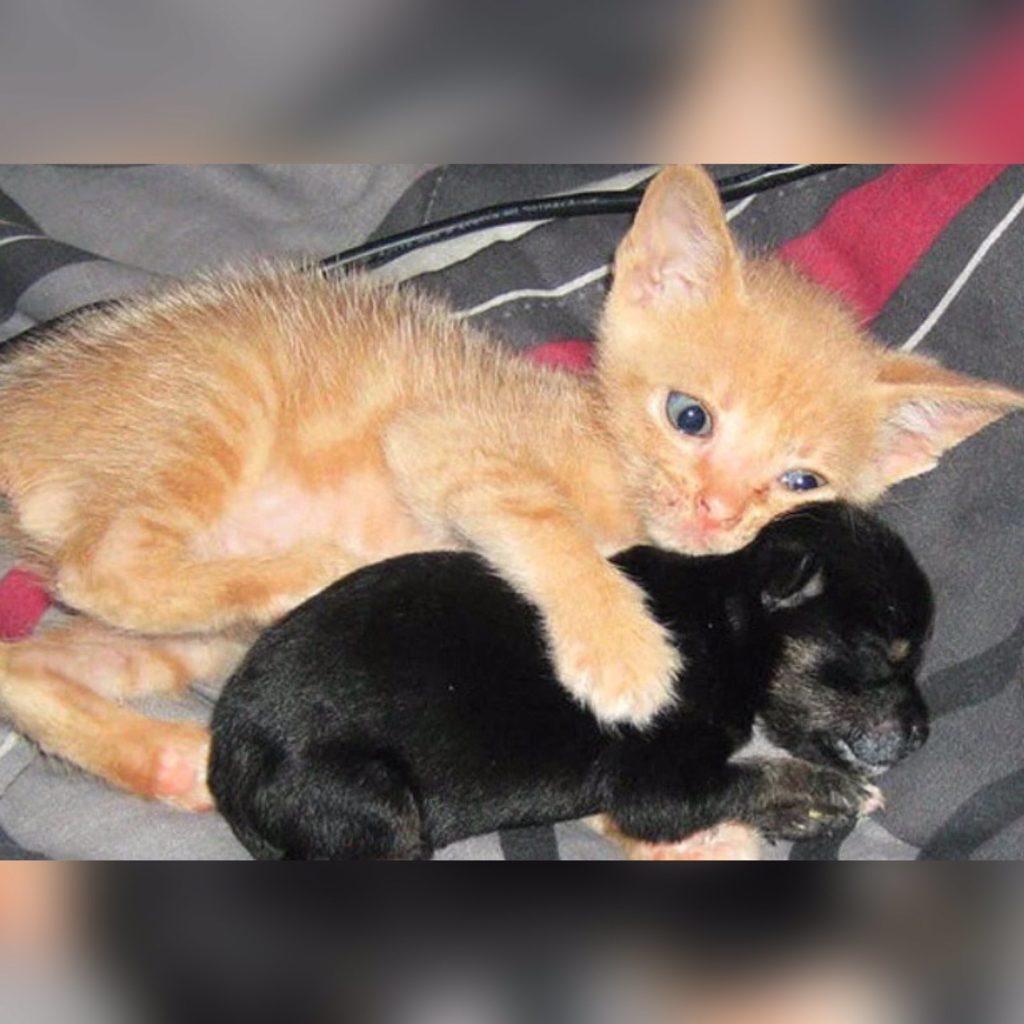 Котёнок так соскучился по ласке, когда жил во дворе, что когда его впустили в дом, он полюбил крохотного щенка