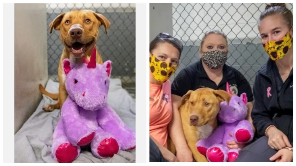 Уличный пёсик породы питбуль несколько раз пытался выкрасть плюшевого единорога из супермаркета и попал в приют для животных