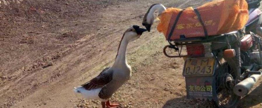 Пара гусей успела попрощаться, прежде чем женщина увезла одного на убой