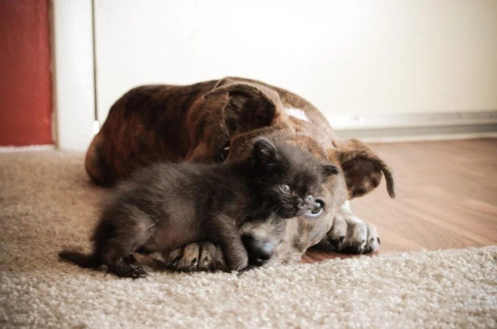 Когда котёнок стал набивать свои первые шишки, собака Линда видела, как он после этого плачет, и решила, что должна уберечь его