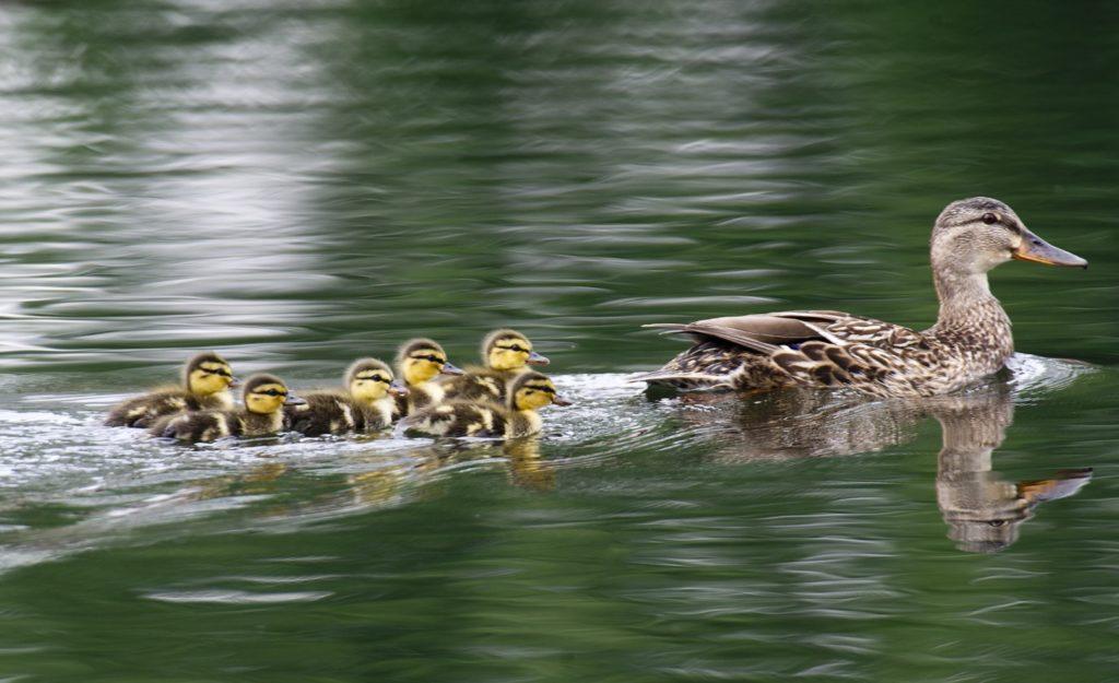 Мама утка искала помощи, увидев, как ее дети падают в канализацию