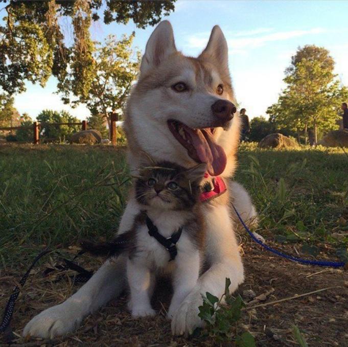 Хаски спасла котенка и заменила ему маму